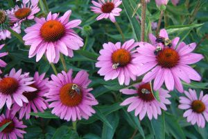 echinacea-purpurea-rubinstern-2