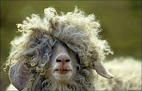 oveja despeinada
